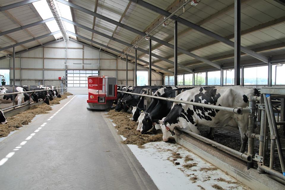 Vache laitière en stabulation avec robot