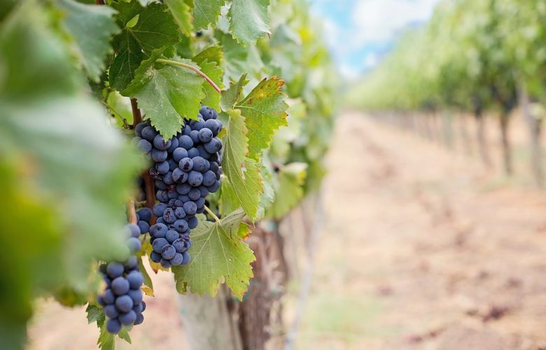 Grapes still on the vine